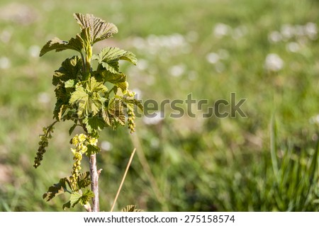 Blooming young black currant plant - stock photo