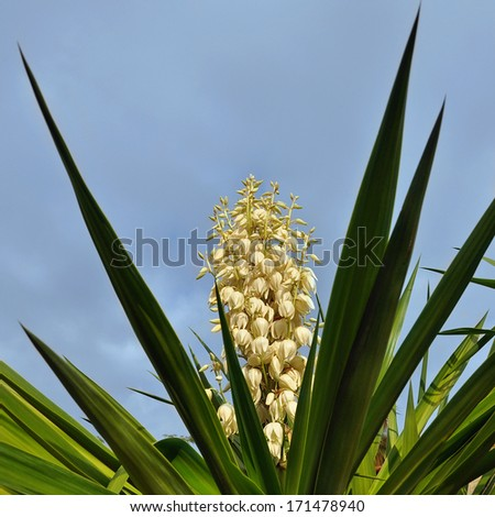 Blooming yucca bush from Mediterranean country - stock photo