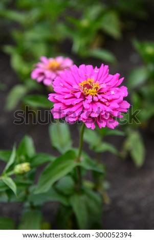 Blooming Zinnia flowers - stock photo