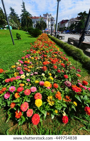 Blooming Zinnia flowers, Batumi - stock photo