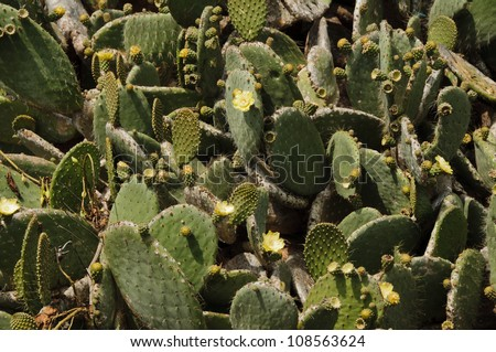 Blooms and buds on a prickly pear cactus patch on the Galapagos Islands - stock photo