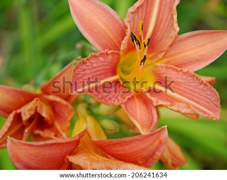 Blooms from a daylily - stock photo