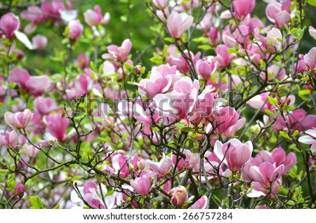 Bloomy magnolia tree with big pink flowers - stock photo