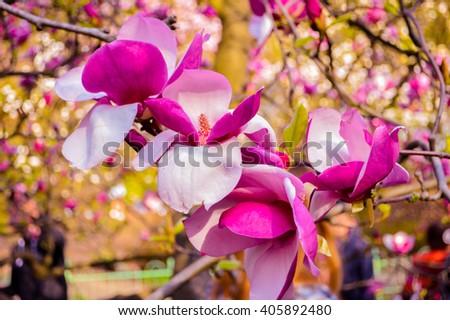 Bloomy magnolia tree big pink flowers stock photo royalty free bloomy magnolia tree with big pink flowers spring is hereblooming magnolia in mightylinksfo