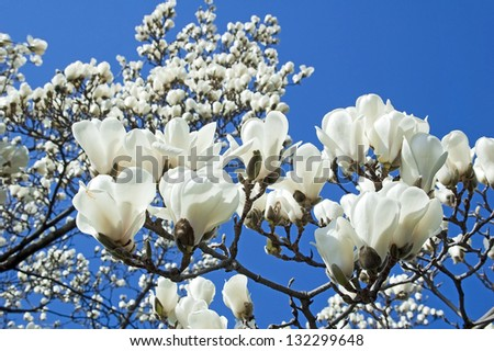 Bloomy magnolia tree with big white flowers