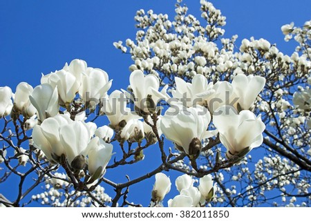 Bloomy magnolia tree with big white flowers - stock photo