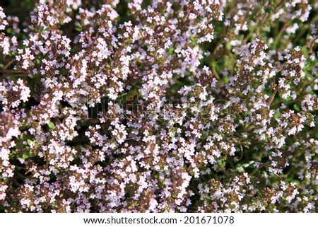 Blosoom thyme, background. Eco-friendly backyard garden, vegetable garden - stock photo
