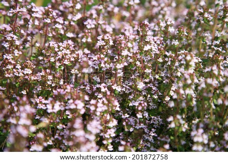 Blosoom thyme, background. Eco-friendly backyard garden, vegetable garden. - stock photo