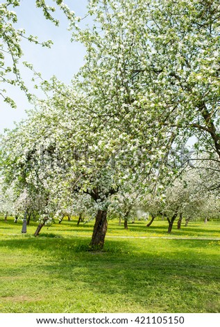 Blossom apple orchard