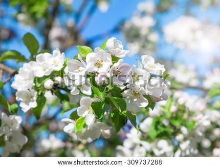 blossom apple tree - stock photo