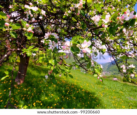 Blossom apple tree in the mountains village at the spring - stock photo
