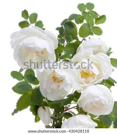 Blossom branch with flowers of white briar, dog-rose isolated on a white - stock photo