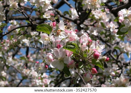 blossom bunches with bee  - stock photo