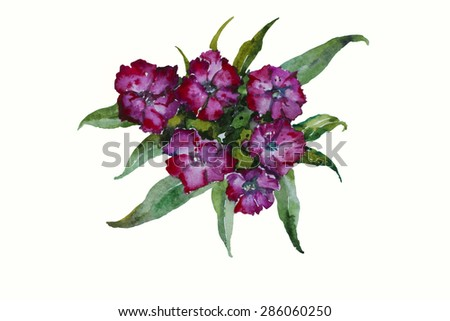 Blossom Dianthus barbatus Sweet William pink flowers original watercolor isolated on white background - stock photo