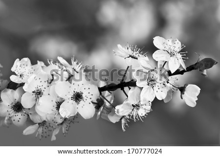 Blossom in spring, black and white - stock photo