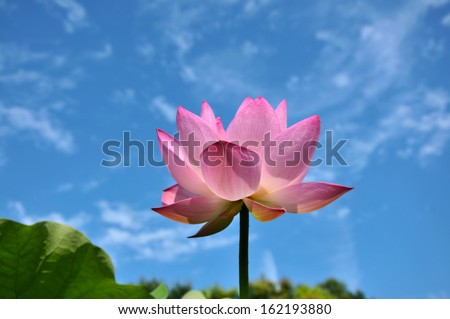 Blossom lotus flower in the pond