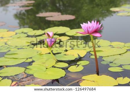 blossom lotus flower pond; focus on flower - stock photo