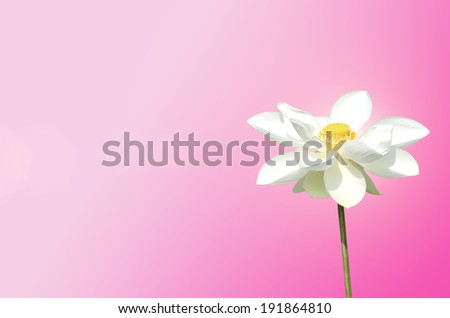 Blossom Lotus on Pink Background - stock photo