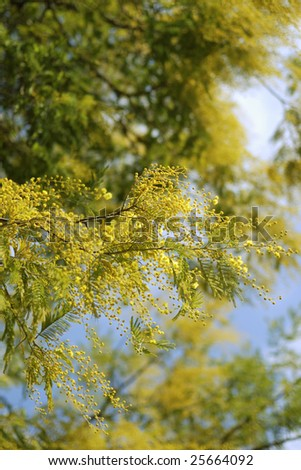 blossom mimosa tree branches over blue sky background in spring time; focus on front branch