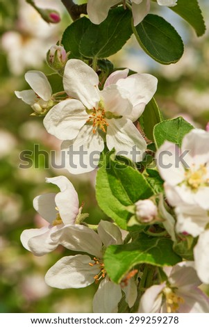 Blossom of apple tree flowers in a spring time - stock photo