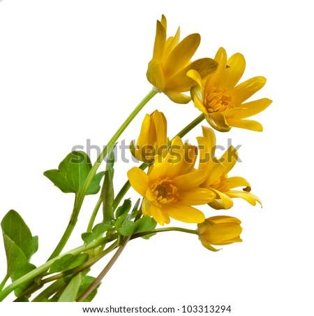 Blossom of Lesser Celandine , Ficaria Verna Flower, isolated on white - stock photo