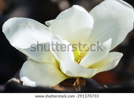 Blossom of magnolia tree in the garden, spring time