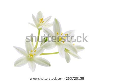 blossom of ornithogalum on white - stock photo
