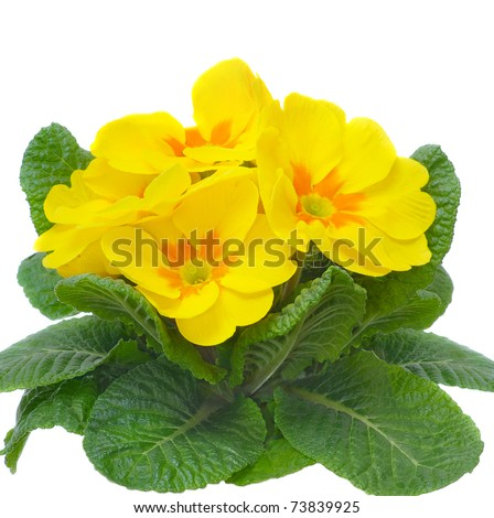 blossom of primula flower isolated on white - stock photo