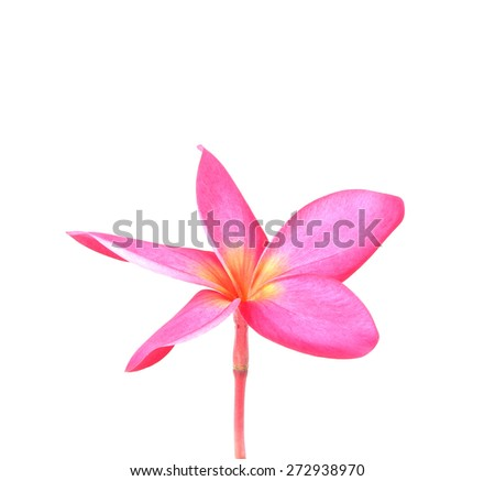 Blossom of red Plumeria flower, tropical flower, isolated on a w - stock photo