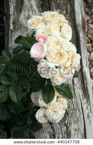 Blossom of the historic pink  rose Bouquet Parfait in the summer garden.  - stock photo