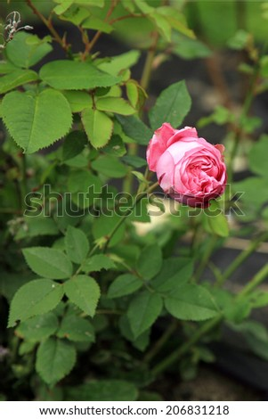 Blossom of the historic pink rose Louise Odier, bourbon rose in the summer garden. - stock photo