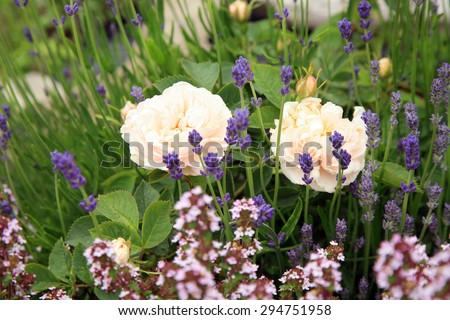 Blossom of the historic white rose with thyme and lavender in the summer garden. Foto with focus on white flower. - stock photo
