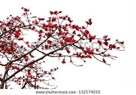 Blossom of the Red Silk Cotton Tree - The Latin name is Bombax Ceiba, and it is a popular ornamental tree found in East and South Asia - stock photo