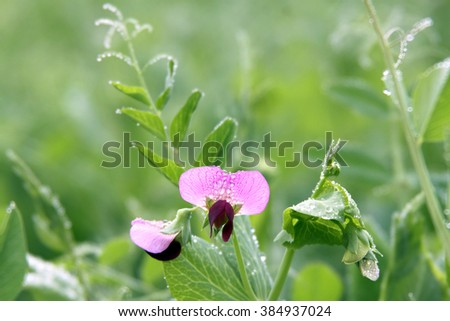Blossom pea covered with dew in the early morning