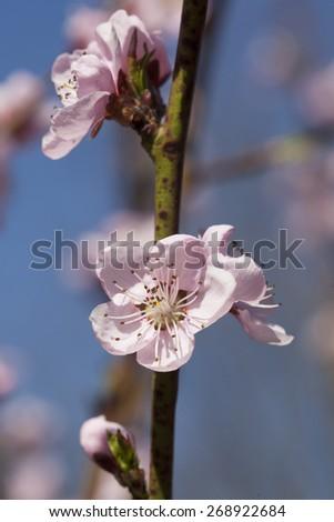 Blossom peach tree - stock photo