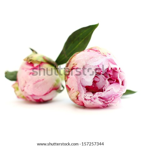 Blossom peony flowers, floral background - stock photo
