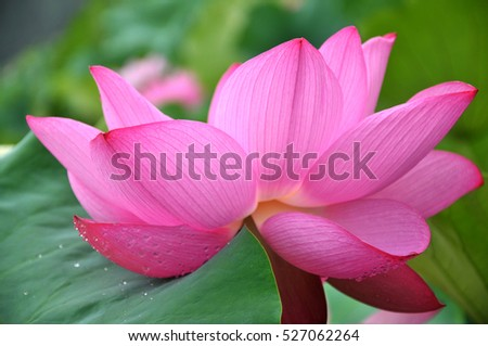 Blossom pink lotus flower in pond