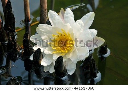 Blossom pink lotus flowers in pond