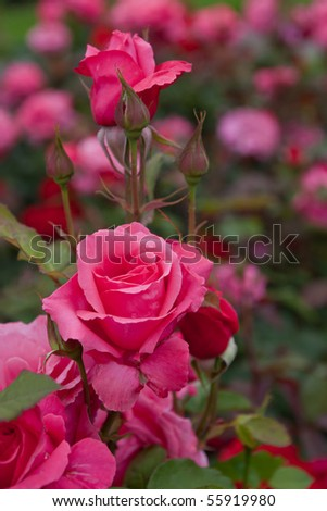 blossom pink roses flower garden - stock photo