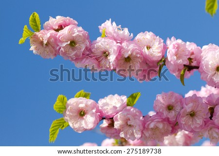 Blossom pink sakura in sunny spring day