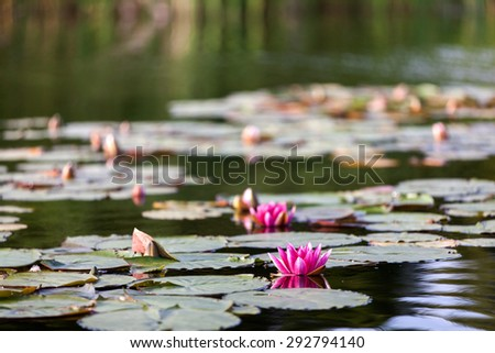 Blossom pink waterlily in pond - stock photo