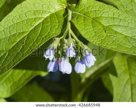 Blossom Prickly Comfrey, Symphytum Asperum, flowers and leaves, close-up, selective focus, shallow DOF - stock photo