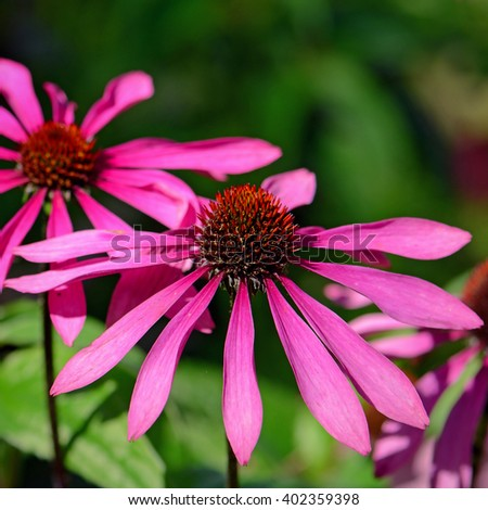 Blossom purple coneflower (Echinacea purpurea) on natural green background. Echinacea is a medicinal plant for immune system. - stock photo