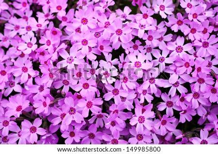 Blossom Shiba Sakura - stock photo
