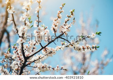 Blossom tree over nature background. Spring Background.