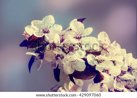 Blossom tree over nature background/ Spring flowers/Spring Background, Blooming Sakura, cherry tree - stock photo