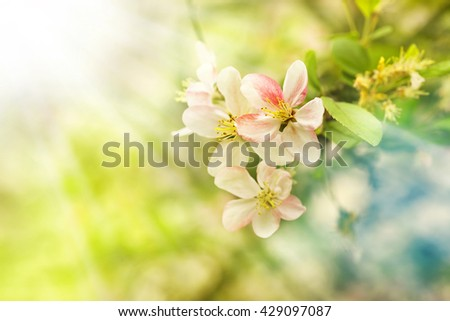 Blossom tree over nature background/ Spring flowers/Spring Background, Blooming Sakura, cherry tree