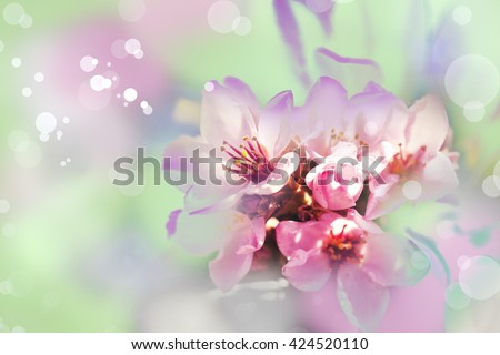 Blossom tree over nature background/ Spring flowers/Spring Background,  sakkura bloom I in the blue sky background - stock photo