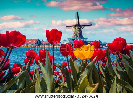 Blossom tulips in the Dutch village with famous windmills. Spring sunny morning on the Netherlands canals. Instagram toning. - stock photo