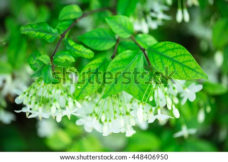 Blossom Water plum flower with green leaf